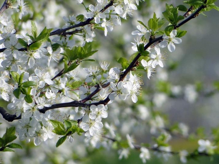 apple-blossom-746610_960_720