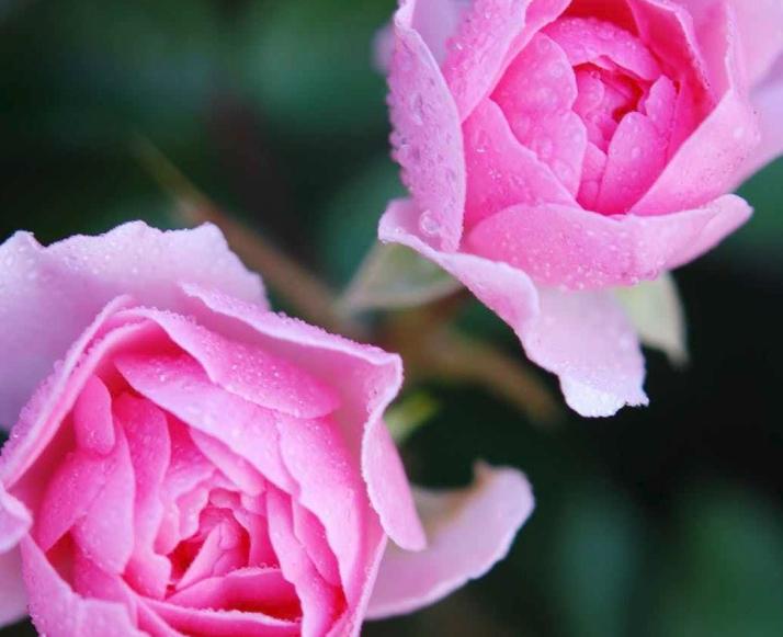 roses-flower-nature-macro-87407.jpeg